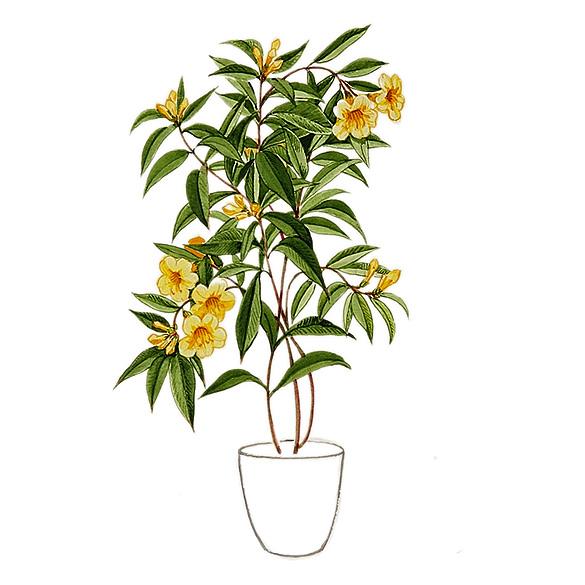 The Fragrant Garden: Jasmines